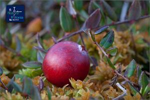Походы за ягодами и грибами, организуемые Nature Tours in Estonia в заповеднике Пейпсивеэре