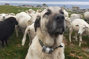 Guided hikes in Lahemaa on Tammistu beach meadow with sheep and cattle dogs