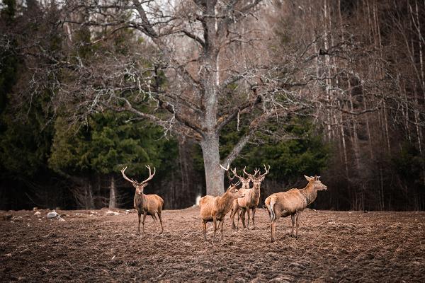 Meža zvēru vērošana Toosikannu atpūtas centrā