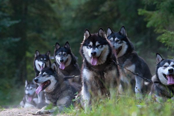 Собачья упряжка Центра тренировки ездовых собак