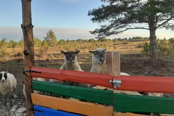 Kadakasuitsun majoituksen lampaat