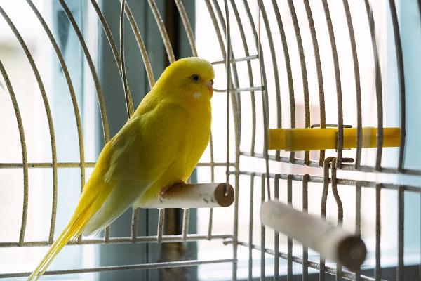 Музей горожанина XIX века, желтый волнистый попугай