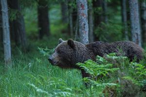 Alutaguse karu ja metsloomade pildistamise onn