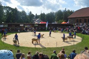 Estnisches Landwirtschaftsmuseum, , Zuchttierveranstaltung, auf dem Bild am Wettbewerb teilnehmende Schafe