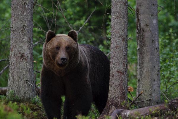 Estonian brown bear