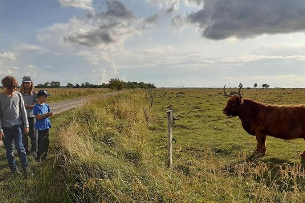 Estonian cattle watching