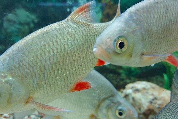 Järvemuuseumi kalad akvaariumis