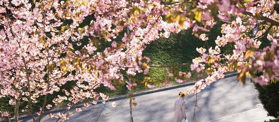 Õitsev kirsipuu