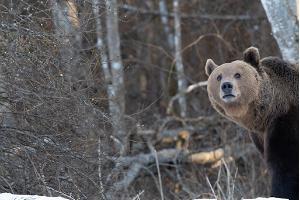 Karhun kuvaus luontovalokuvaajan kanssa Kosen kunnassa