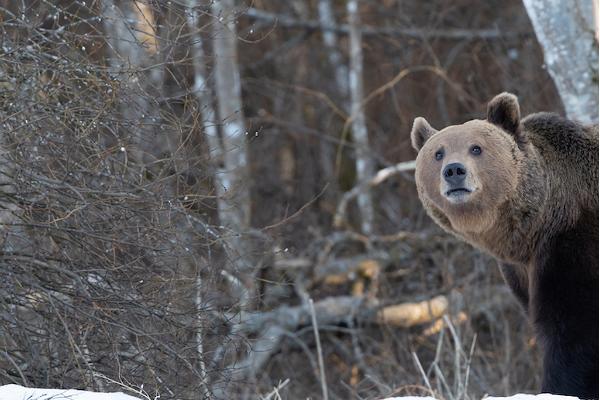 Karu pildistamine koos loodusfotograafiga Kose vallas