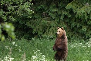 Karhun kuvaus luontovalokuvaajan kanssa