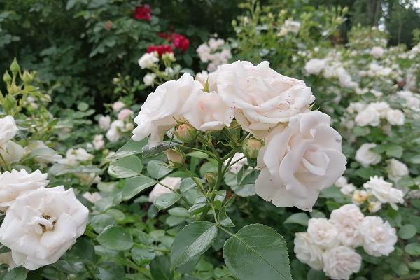 Anija mõisapargi roosid