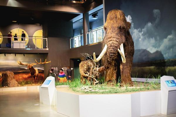 Die Mammuts des Eiszeit-Zentrums