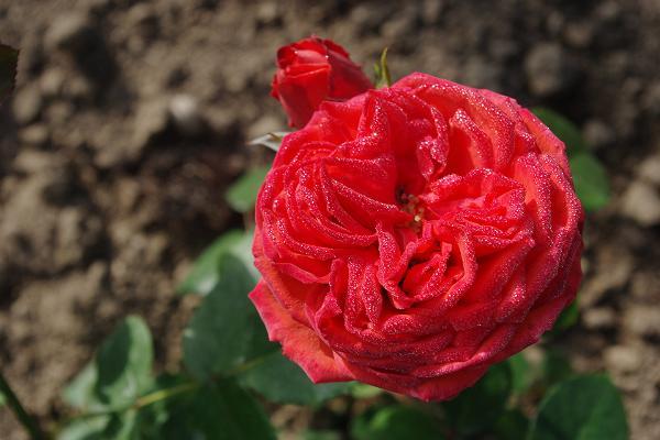 Panga talu roosiaia külastus