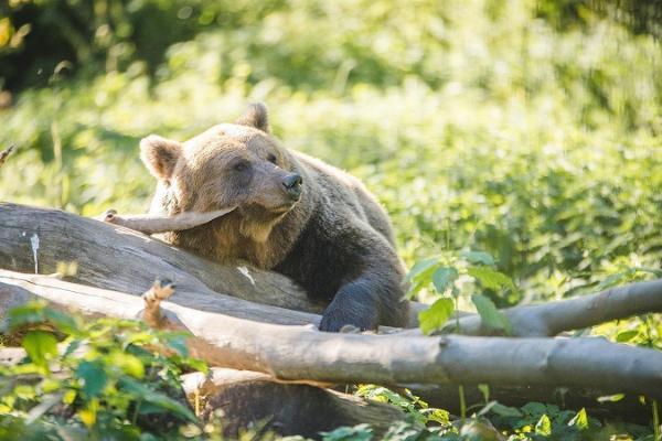 Karhu Elistveren eläinpuistossa