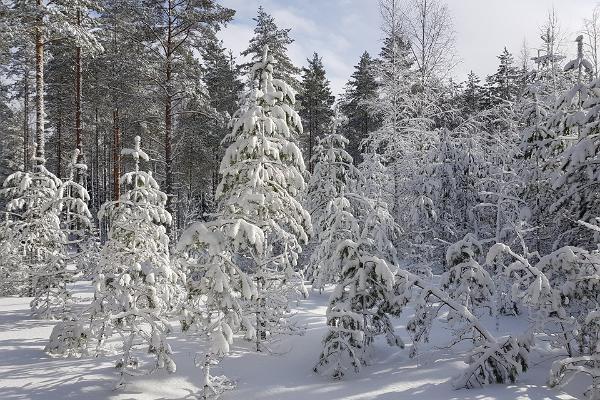 Kurtna matkaraja äärde jääv talvine mets